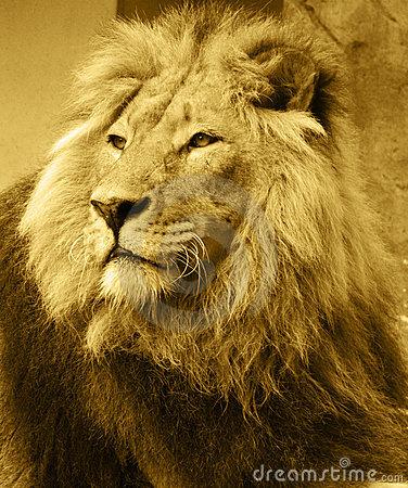 lion-14841339