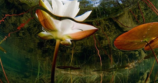 ARKive image ARK019510 - White water-lily